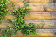 Rose plant on wooden wall.