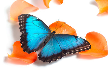 Blue butterfly on orange petals