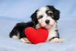 Lover Valentine Havanese puppy is lying on a blue blanket