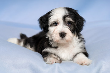 Cute Havanese puppy dog is lying on a blue blanket