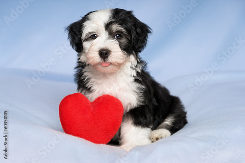 Happy Lover Valentine Havanese puppy is sitting on a blue blanke