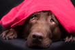 canvas print picture - Labrador unter der Decke