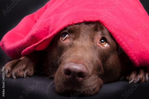 canvas print picture Labrador unter der Decke
