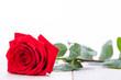 wunderschöne rote rose nahaufnahme makro