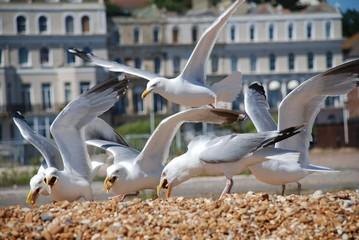 Herring Gulls, Folkestone, England