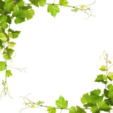 Bunch of green vine leaves and grapes vine