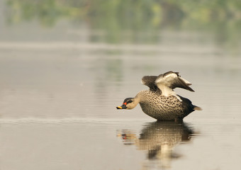Spot Billed Duck (Anas Poecilorhyncha)