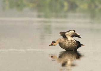 Spot Billed Duck (Anas Poecilorhyncha)