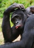 Bonobo ( Pan paniscus) portrait.