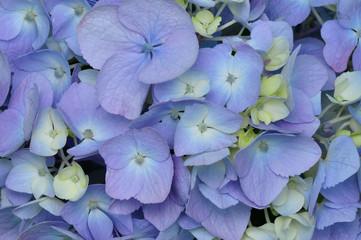 hydrangea  or Hortensia