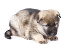 sheepdogs puppy isolated on white background