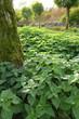 forest - stinging nettles...