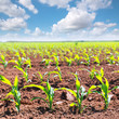 Corn fields sprouts in rows in California agriculture