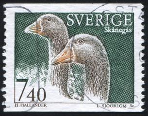 Scanian goose