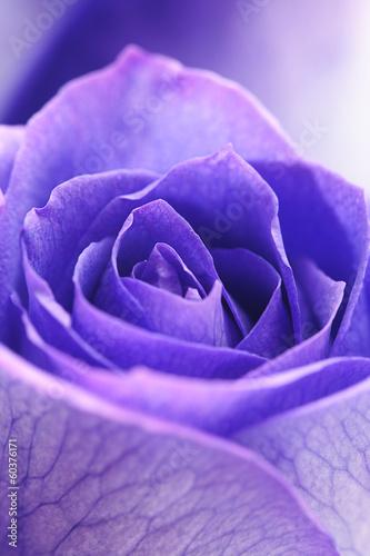 macro background of beautiful violet roses © Evgeniya Uvarova