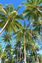 paumes arbre