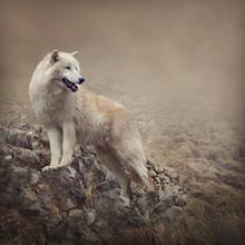 Loup blanc à la nuit