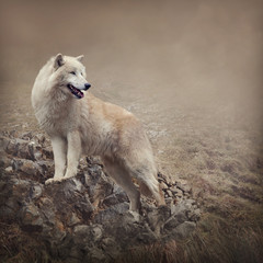 White wolf at the night
