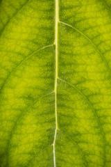 Foglie verde