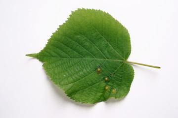 Cecidomyiidae lime