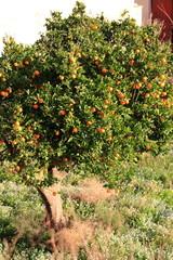 pianta d'arancio