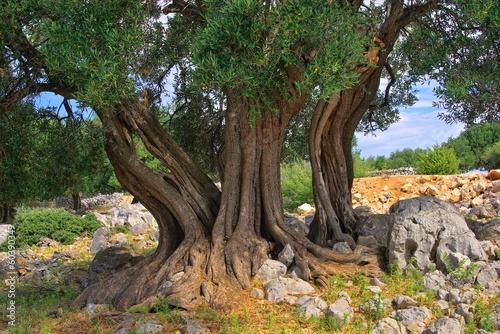 Canvas Olijfboom Olivenbaum Stamm - olive tree trunk 11