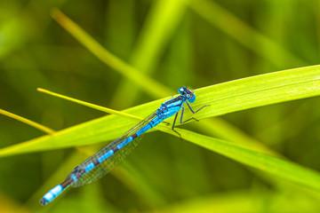 Damsel Fly Resting on Grass
