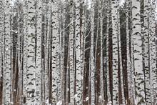 Betulla Winter forest