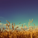 stems of wheat in sunset light - vintage retro style