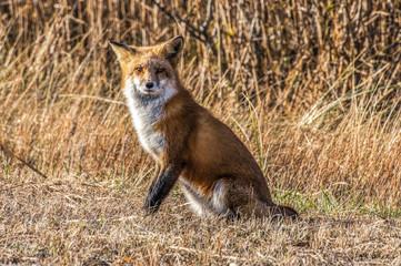Female Fox 7295