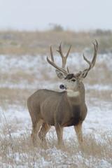 Big Mule Deer Buck in Snow