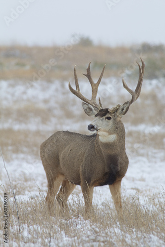 Big Mule Deer Buck in Snow