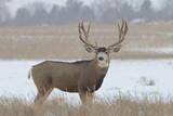 Huge Mule Deer buck