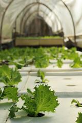 Organic hydroponic vegetable in garden