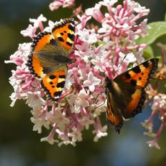 Small tortoiseshell butterflies on Syringa flowers