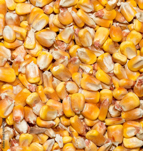 background from corn. macro