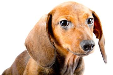 Dachshund puppy close up