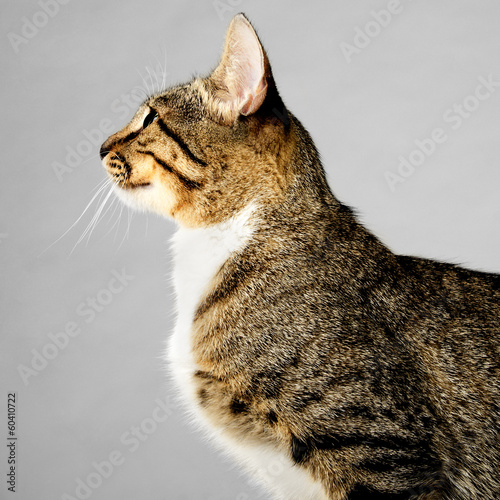 Profile of Young Brown Tabby Cat on Gray Background