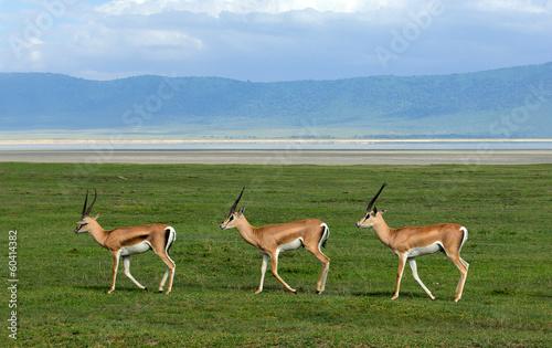Fotobehang Antilope Trio
