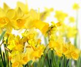 Fotoroleta Duft- und Blütenrausch: Leuchten-gelbe Narzissen