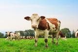 Fototapety Cow on field