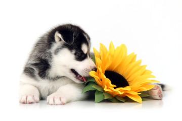Щенок Хаски и цветок