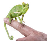 pet chameleon on a finger