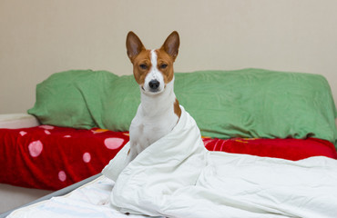 Morning scene in bedroom of  adorable basenji dog.
