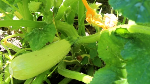 zucchini growing in the summer garden