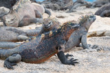 Group of Galapagos marine iguana on a beach