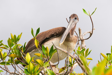 Brown pelican perching