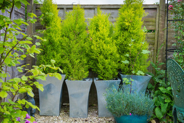 Garden with evergreen trees in containers.