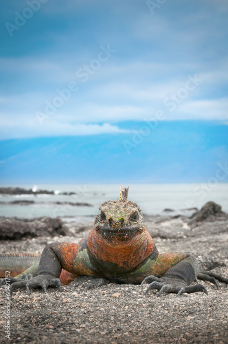 Galapagos marine iguana face on with blue sky background