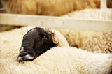 Sad sheep in a farm